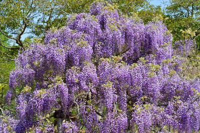 Japanese_wisteria13001