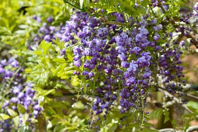Japanese_wisteria13002
