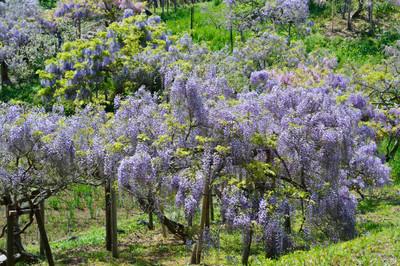 Japanese_wisteria13003