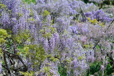 Japanese_wisteria14001