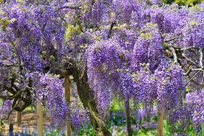 Japanese_wisteria14002