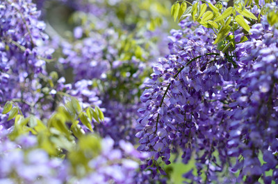 Japanese_wisteria14003