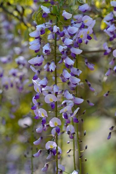 Japanese_wisteria14004