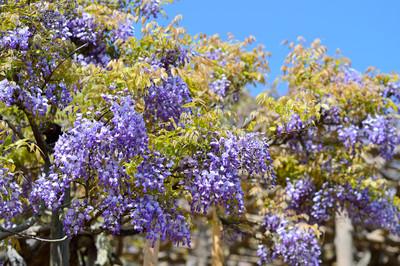 Japanese_wisteria15001