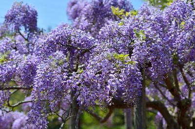 Japanese_wisteria15002