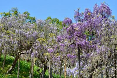 Japanese_wisteria15003