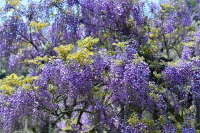 Japanese_wisteria15004