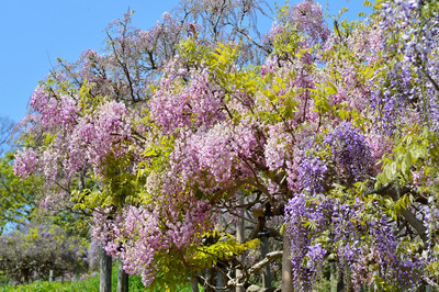 Japanese_wisteria16001
