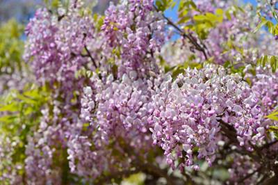 Japanese_wisteria16002