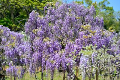 Japanese_wisteria16003