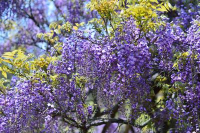Japanese_wisteria16004
