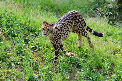 Cheetah43001