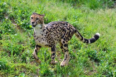 Cheetah43002
