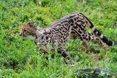 Cheetah43003