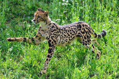 Cheetah43004