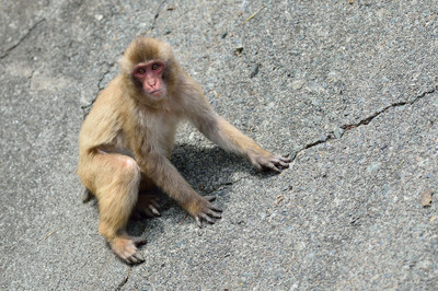 Japanese_macaque30002
