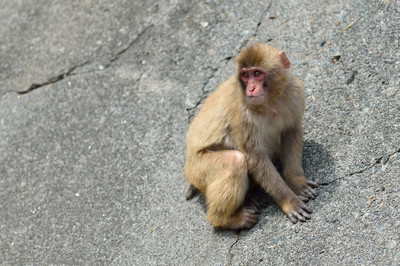 Japanese_macaque30003