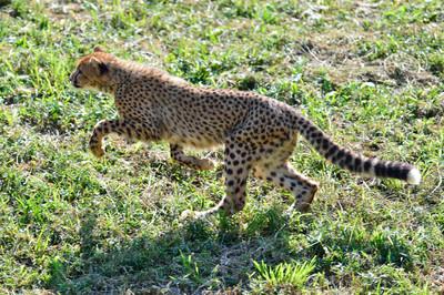 Cheetah49001