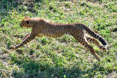 Cheetah49002