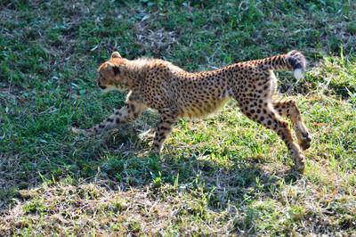 Cheetah49003