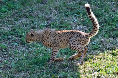 Cheetah49004
