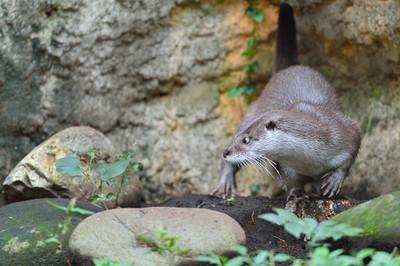 Eurasian_river_otter15002