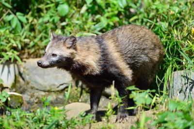 Japanese_raccoon_dog13001