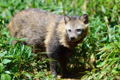 Japanese_raccoon_dog13002