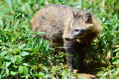 Japanese_raccoon_dog13003
