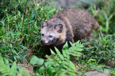 Japanese_raccoon_dog13004