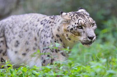 Snow_leopard28001