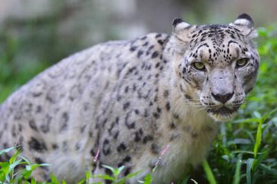 Snow_leopard28004