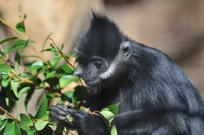 Francoiss_leaf_monkey7002