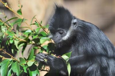 Francoiss_leaf_monkey7003