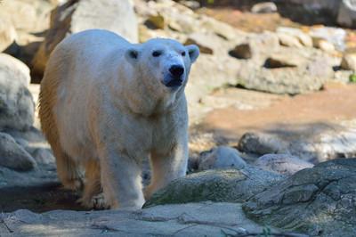 Polar_bear26001