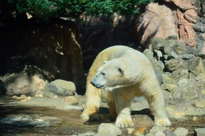 Polar_bear26002