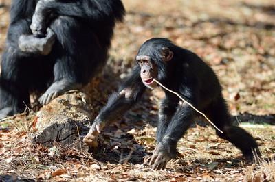 Chimpanzee24001