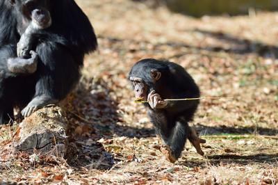 Chimpanzee24002
