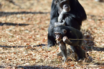 Chimpanzee24003