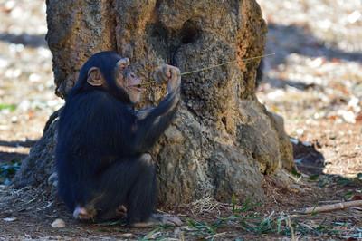 Chimpanzee24004