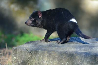 Tasmanian_devil3001