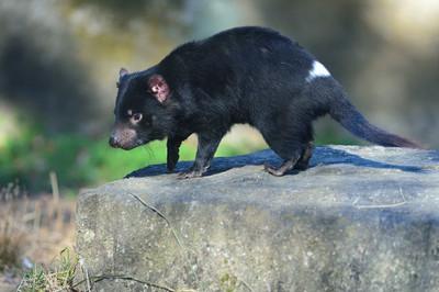 Tasmanian_devil3002