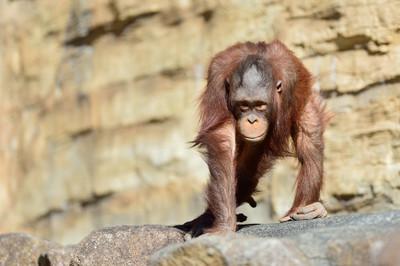 Orangutan19001