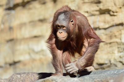 Orangutan19002