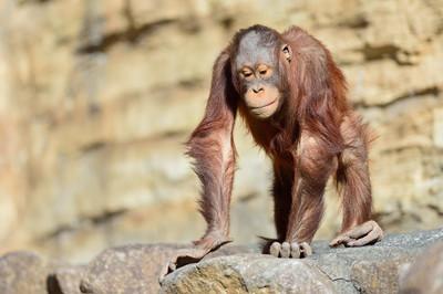 Orangutan19003