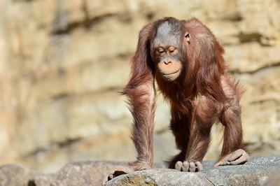 Orangutan19004