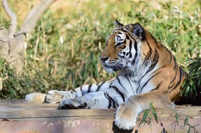 Siberian_tiger20001