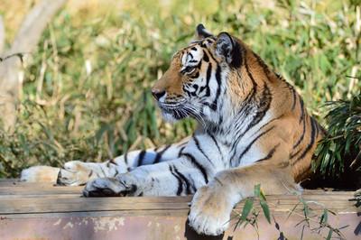 Siberian_tiger20002