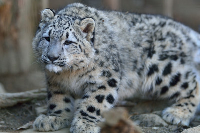 Snow_leopard30002