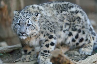 Snow_leopard30003